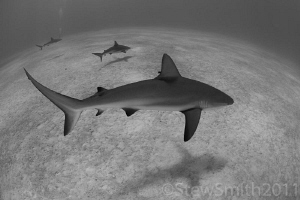 Reef sharks patrolling by Stew Smith 